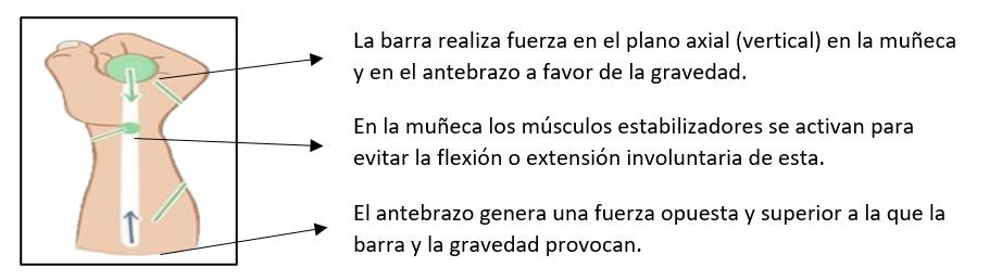 Cuadro de texto: El antebrazo genera una fuerza opuesta y superior a la que la barra y la gravedad provocan.